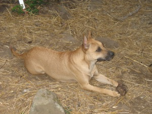 Our friends' dog, Dingo, is just that - an American Dingo or Carolina Dog, one of only a few breeds of dog in the Americas whose DNA indicates they came from Asia millennia ago across the land/ice bridge that connected the two continents.