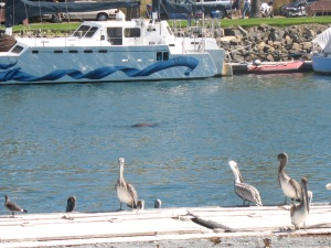 Do you see the seal in the water?  We saw lots of pelicans and one very loud seal at Harbor Days.