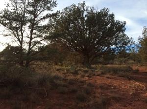 piñon pine, juniper, prickly pear cactus