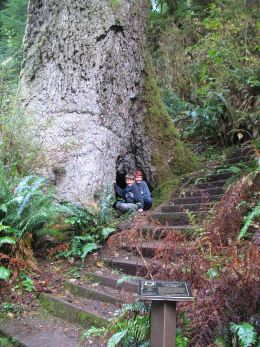 Sitka Spruce - These huge trees have a range from Northern California to Alaska but grown only within four miles of the Pacific Ocean.