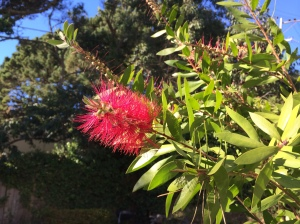 The bottlebrush bush right outside our door