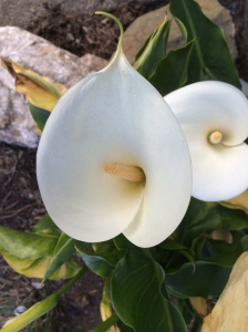 Our neighbor's calla lily