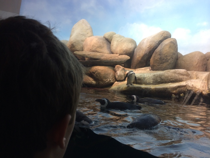 The African Penguins!