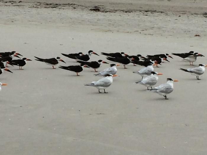 The white ones are royal terns.  Not sure about the black ones.