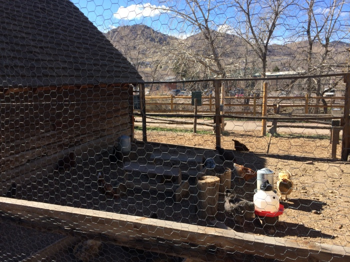 Late-1800's cabins, outhouses, and chicken coops from an area 15 miles west of Golden were taken down and rebuilt along Clear Creek.  There are a variety of chicken breeds kept here.  It's so fun to watch them.  It made us miss our backyard hens.
