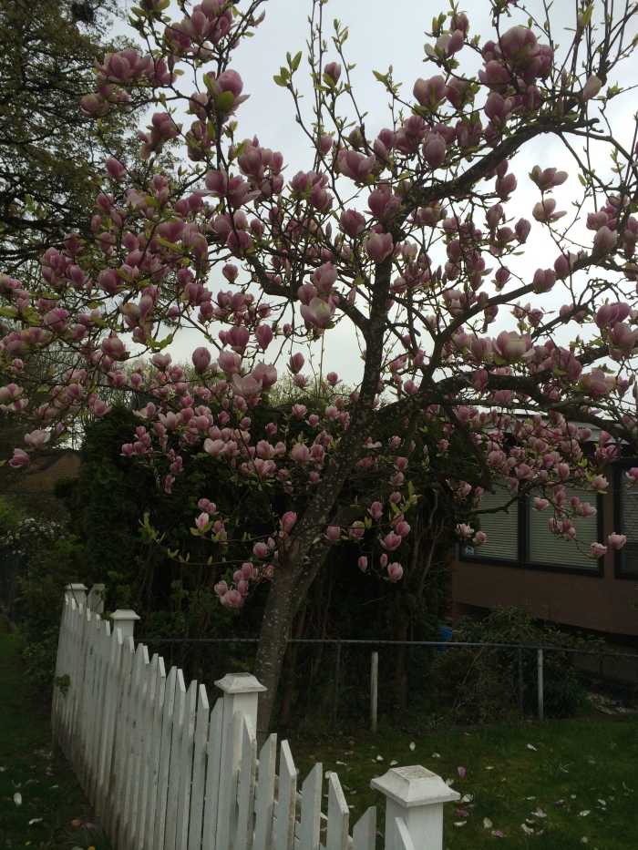 There are so many beautiful flowering trees in Vancouver.  This one is a couple blocks from our house.