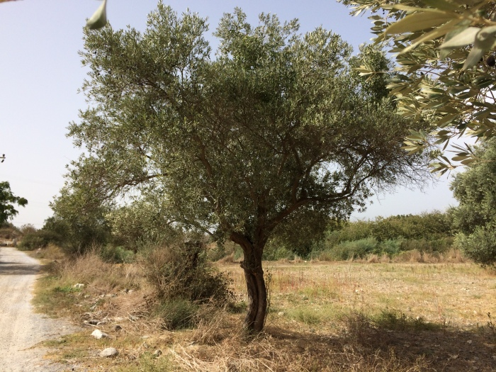 We walked along a row of olive trees which can live for over a thousand years.  Olives and olive oil were so integral to the Greeks' and Romans' lives that damaging a tree was punishable by death, according to Tuğrul.