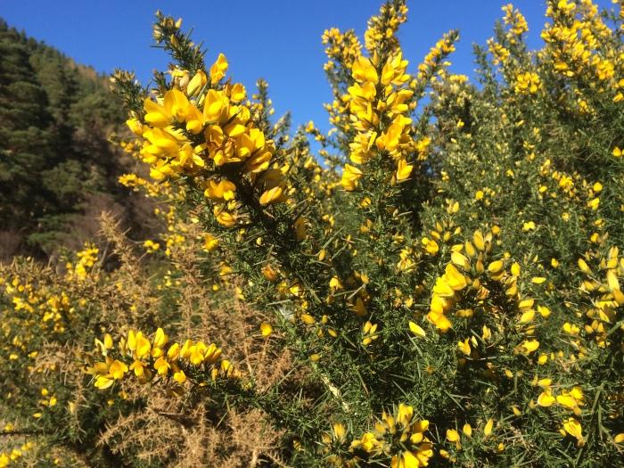 A gorse bush
